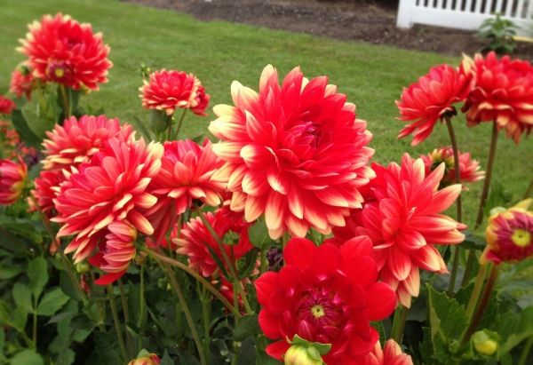 Dahlias in bloom along the Marginal Way.